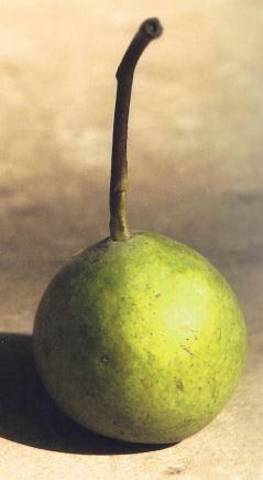 Pera Bus, fonte: P. Odorizzi: Profumi e sapori perduti - Il fascino della frutta antica Vol.II (2005)