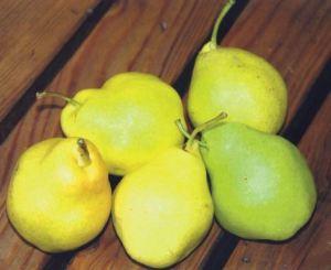Pera Pala, fonte: P. Odorizzi: Profumi e sapori perduti - Il fascino della frutta antica Vol.II (2005)