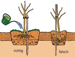 Pflanzung Obst. Quelle: Jardin Suisse: www.pflanzanleitung.ch/de