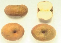 Piatlin, fonte: P. Odorizzi, S. Abram: Profumi e sapori perduti - Il fascino della frutta antica Vol. I (2001)