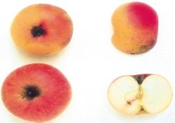 Pomella Genovese, fonte: P. Odorizzi, S. Abram: Profumi e sapori perduti - Il fascino della frutta antica Vol. I (2001)