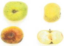 Pomellone, fonte: P. Odorizzi, S. Abram: Profumi e sapori perduti - Il fascino della frutta antica Vol. I (2001)