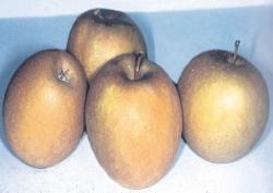Renetta Grigia Tirolese,  fonte: P. Odorizzi, S. Abram: Profumi e sapori perduti - Il fascino della frutta antica Vol. I (2001)