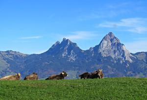 Rinder im Alpenraum (Foto: pixelio.de/berggeist007)