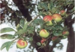 Rosa di Fondo, fonte: P. Odorizzi, S. Abram: Profumi e sapori perduti - Il fascino della frutta antica Vol. I (2001)
