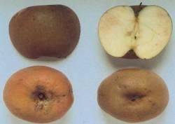 Ruggine Reale, fonte: P. Odorizzi, S. Abram: Profumi e sapori perduti - Il fascino della frutta antica Vol. I (2001)