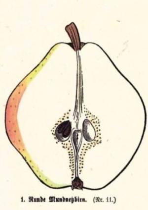 Runde Mundnetzbirn, Quelle: Iglhauser B., Keser M. (1998): Pirarium.