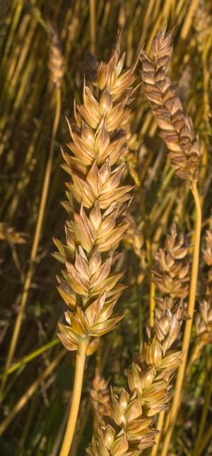 Kärntner Frühweizen, ein Sommerweizen für die Grenzregionen des Weizenbaus. Die Ähren bekommen zur Reifezeit eine bräunliche Farbe. Quelle: Peer Schilperoord