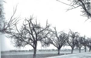 Apfelsorte Sauergrauech nach Schnitt. Quelle: Kunz, 1945