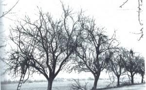 Apfelsorte Sauergrauech vor Schnitt. Quelle: Kunz 1945
