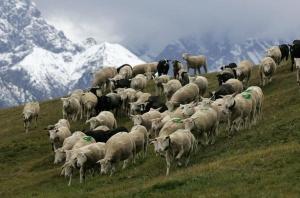 Schafherde in den Alpen. Quelle: Keystone/Arno Balzarini