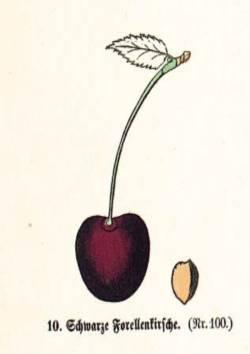 Schwarze Forellenkirsche, Quelle: Iglhauser B., Keser M. (1997): Prunarium.