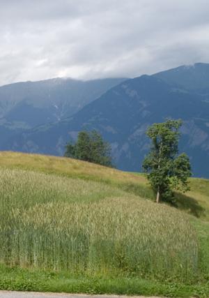 Links Winterroggen Cadi, rechts und kürzer Wintertriticale Lasko. Quelle: Peer Schilperoord.