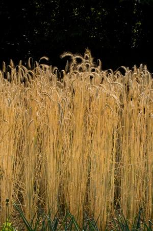 Winterroggen Cadi, Auslese von standfesten Pflanzen