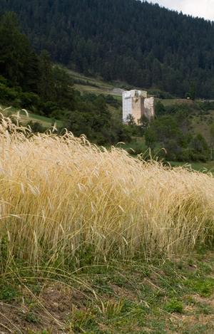 Cadi Winterroggen kurz vor der Ernte 22. Juli 2010