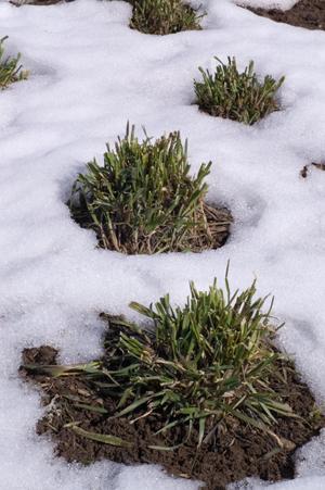 Walliser Roggen am 27.04.2012, Aussaat Mai 2011, kein Verlust durch Schneeschimmel.