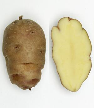 Parli Knolle, links: ganz, rechts: längs durchgeschnitten. Die Augen können noch tiefer liegen. Quelle: www.bdn.ch