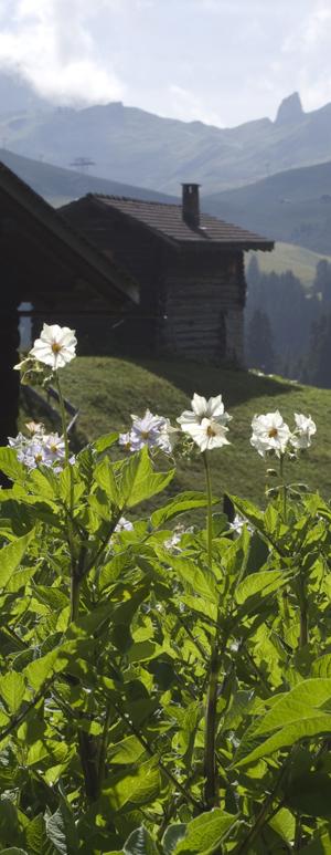 In Maran bei Arosa werden die Kartoffelsorten der Genbak der Schweiz vermehrt. Hier, auf 1850 m ü. M. gibt es keine Blattläuse die Viruskrankheiten verbreiten. Quelle: Peer Schilperoord.