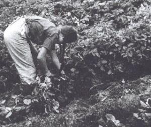 Bis in die 1950/60er Jahren wurden die Stauden vor der Ernte der Kartoffeln von Hand ausgezogen; Quelle: Kartoffeln, Klee und kluge Köpfe (2009)