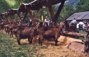 Stiefelgeissenschau Vilters 2008