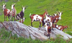 Tauernschecke-Herde (arche-austria.at)