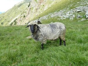 Tiroler Steinschaf. Quelle: http://www.kleintierzucht.it/tiroler-steinsschaf/