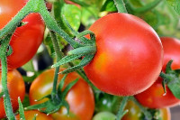Tomaten (by_Andreas Hermsdorf_pixelio.de)