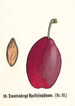 Trauttenbergs Aprikosenpflaume, Quelle: Iglhauser B., Keser M. (1997): Prunarium.