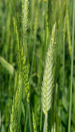 Links eine Weizenähre, rechts eine Triticale Ähre (Sorte Lasko, zur Blütezeit. Quelle: Peer Schilperoord.