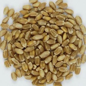 Körner der Weizensorte Sur En. Sur En wird geschätzt wegen seiner sehr guten Backeigenschaften. Quelle: Getreidezüchtung Peter Kunz