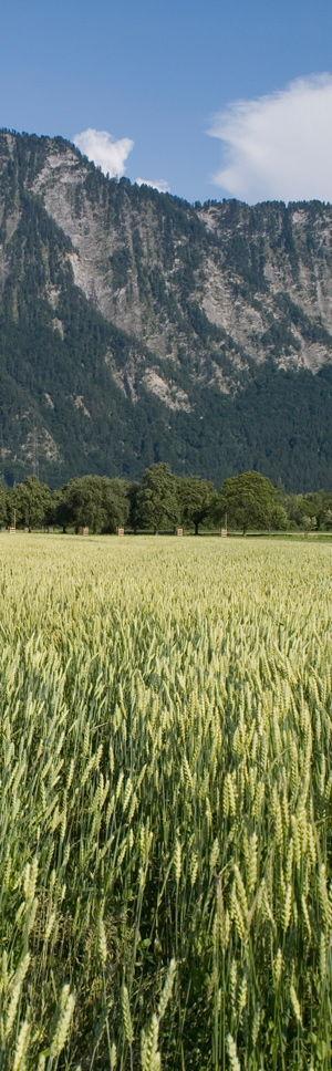 Man spricht von einem Wechselweizen, wenn eine Sommerweizensorte auch im Herbst gesät werden kann. Die alte Sommerweizensorte Sur En auf dem Bild wurde im Herbst gesät. Quelle: Peer Schilperoord
