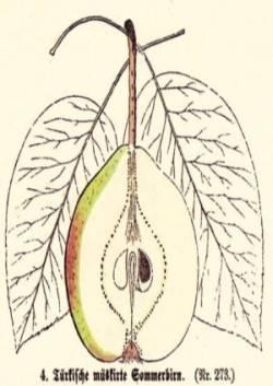 Tuerkische mueskirte Sommerbirn, Quelle: Iglhauser B., Keser M. (1998): Pirarium.