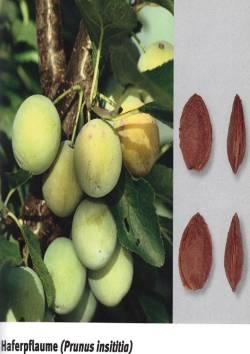 Quelle: Szalatnay D., Kellerhals M., Frei M., Müller U.: Früchte, Beeren, Nüsse