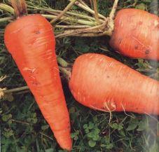 Vitamin Korotel; Quelle: Das Lexikon der alten Gemüsesorten (2014)