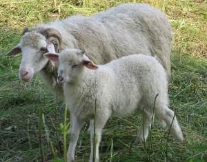 Waldschaf mit Lamm weiss (www.arche-austria.at)