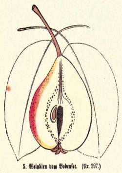 Weinbirn vom Bodensee, Quelle: Iglhauser B., Keser M. (1998): Pirarium.