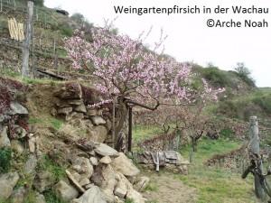 Weingartenpfirsich_WachauN