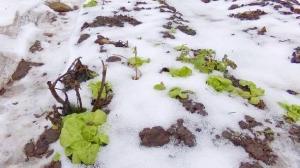 Wintersalat im Februar. Quelle: www.derkleinegarten.de