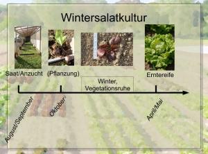 Wintersalatkultur; Quelle:Wenz/Wenger: https://kulturpflanzen-nutztiervielfalt.org