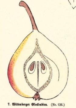 Wittenberger Glockenbirn, Quelle: Iglhauser B., Keser M. (1998): Pirarium.