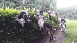 Pfauen-Ziegenbande, artgerechte Haltung, Kathrin Rykart