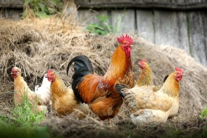 Group of domestic chicken; Source: https://pixabay.com