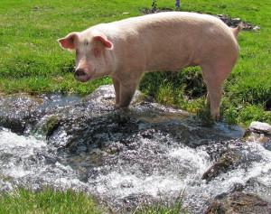 freilaufendes Schwein (Foto Thommy Weiss, pixelio.de)