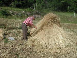 Der Kornhaufen wird aufgeschichtet
