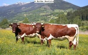 Original Pinzgauer Rinder sind wieder etabliert, gelten aber nach wie vor als gefährdet. (Bild: Arche Austria)
