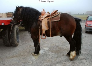 posavina pferd