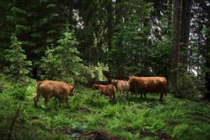 Waldbeweidung auf einer Alp im Bündnerland (Bild: Andi Butz)